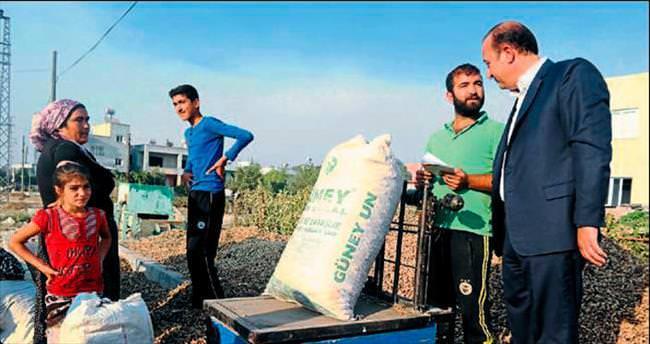 Ceyhan'da yerfıstığı hasadı devam ediyor