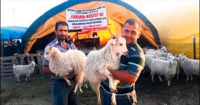Ankara Keçisi kurban pazarının gözdesi