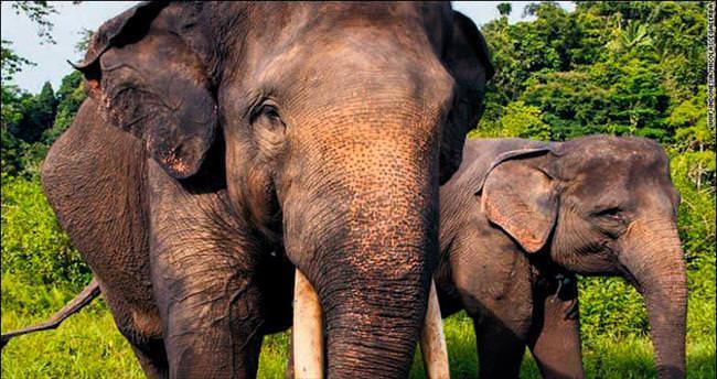 Sumatra filini dişi için öldürdüler!