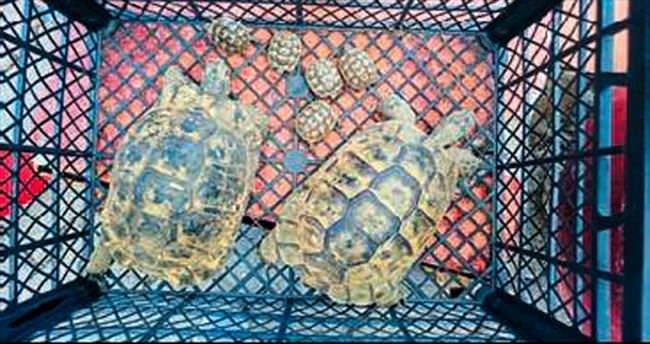 Kaplumbağalar özgür kalacak