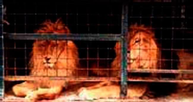 Aslan kardeşler 8 yıl sonra özgür