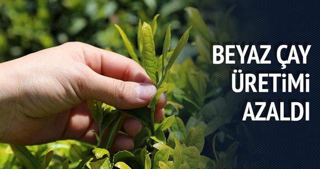Beyaz çayın üretimi yüzde 40 düştü