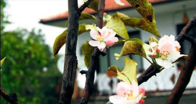 Strese giren elma ağacı çiçek açtı!