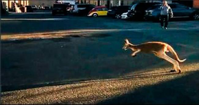 Kaçak kanguru için alarm verildi