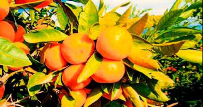 Satsuma mandalina ihracatı başlıyor