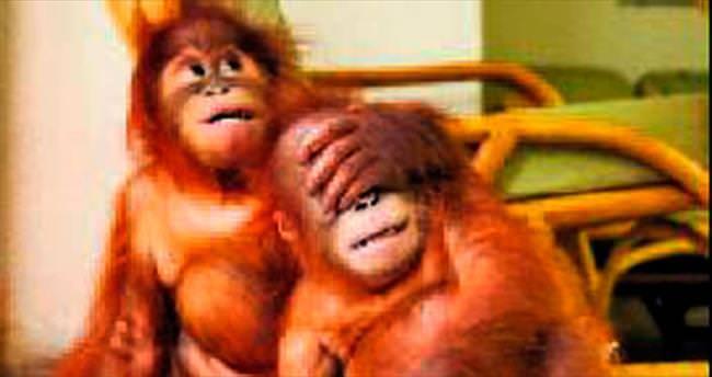 Sevimli orangutanlar doğal yaşama döndü
