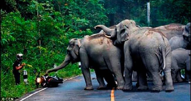Çılgın fillerin elinden son anda kurtuldu