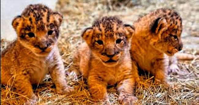 2003'ten bu yana doğan ilk aslanlar