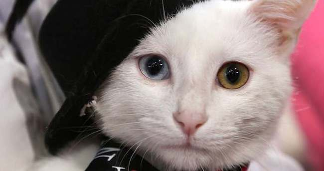 'Ankara Kedisi Güzellik Yarışması' düzenlenecek