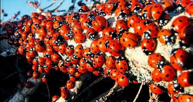 Milyonlarca uğurböceği Uludaz'da büyülüyor