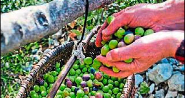 Zeytin hasadı bereketli başladı