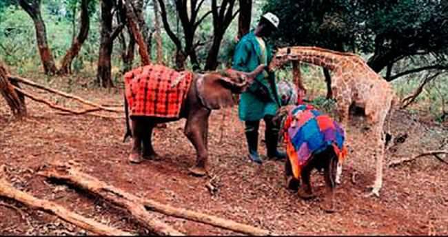 Öksüz zürafayla fil 'kanka' oldu