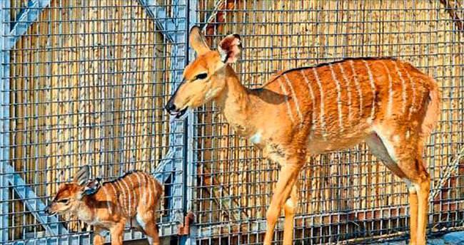 İzmir Doğal Yaşam'da yavru antilop sürprizi