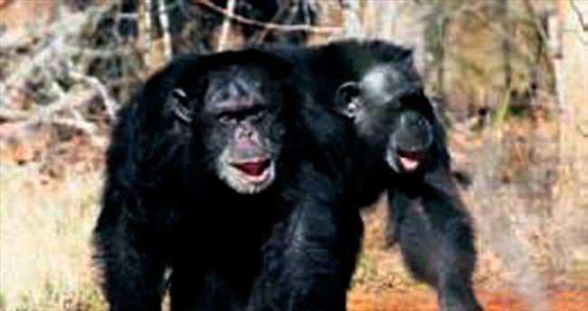 Şempanzeler denek olmayacak