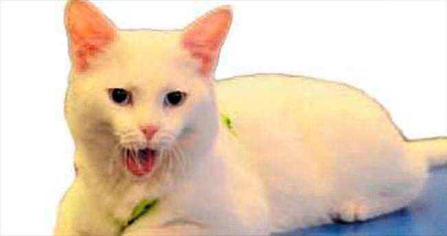 Ankara kedileri podyuma çıkıyor