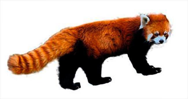 Kızıl panda 3 gündür kayıp