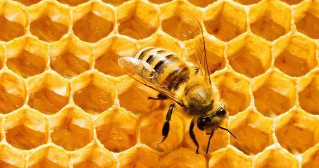 Kışa dayanıklı Süper bal arısı geliyor!