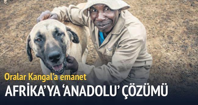 Afrika'da çitalar ve sürüler kangallara emanet