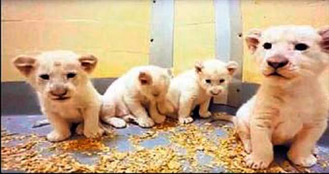Dördüz beyaz aslan ilk kez görüntülendi