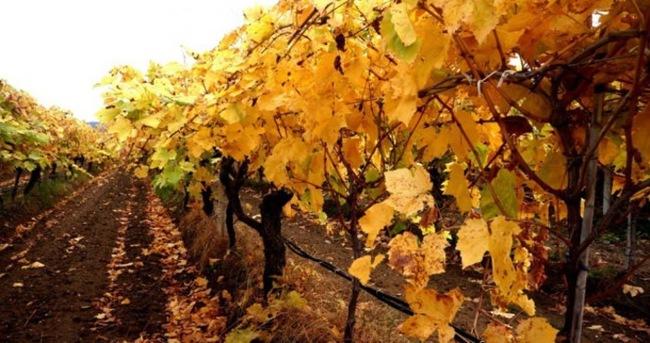 Üzüm bağlarında sonbahar güzelliği