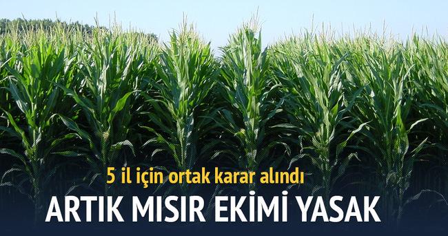5 ilde mısır ekimi yasaklandı