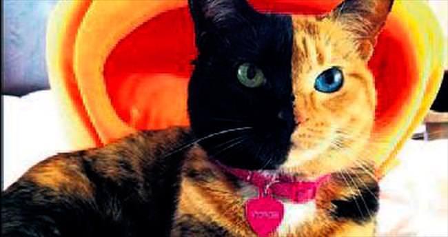 Yarı kaplan yarı panter kedi: Venüs