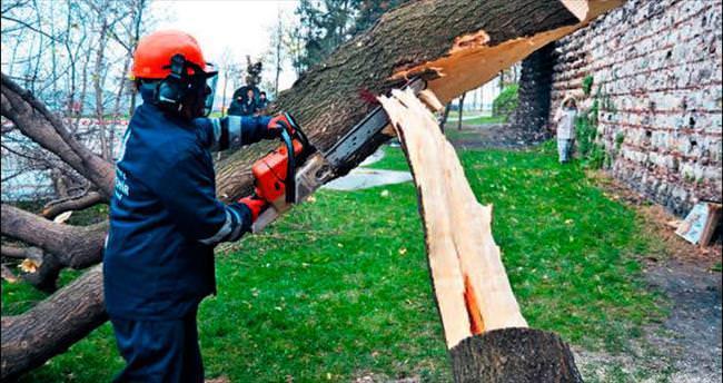'Canavar böcek' bin 300 ağacı daha kestiriyor