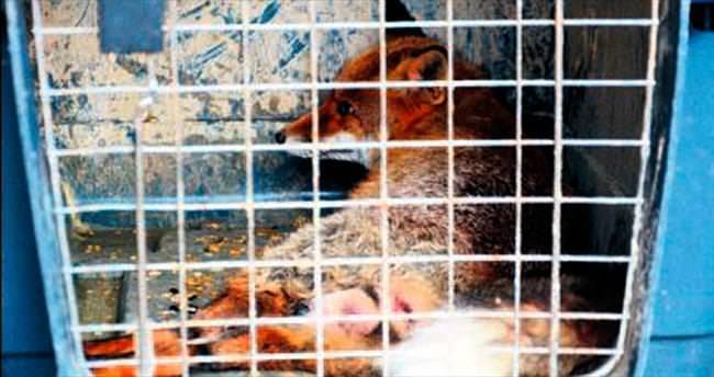 Yaralı tilki korumaya alındı