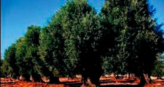 Zeytin ağaçlarına 'kesilemez' kararı