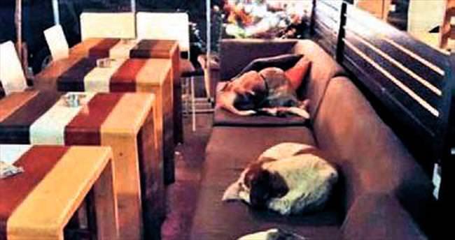 Kafenin müdavimleri sokak köpekleri