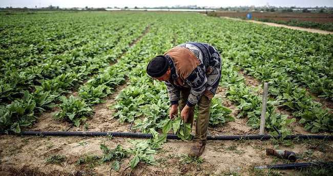 İsrail, Gazze'de tarım ürünlerine zarar verdi