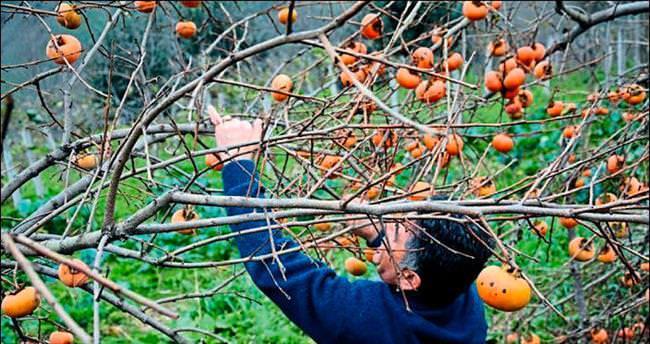Yılbaşının gözdesi Trabzon hurması