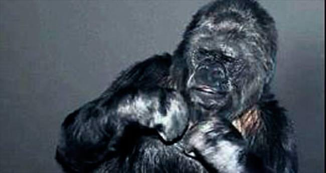 Goril Koko'dan yeni yıl mesajı...