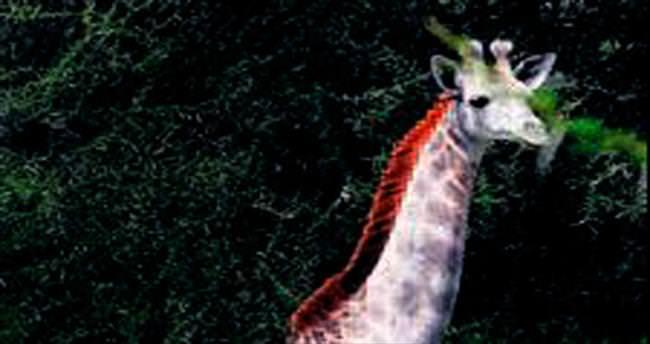 Tanzanya'nın starı beyaz zürafa Omo
