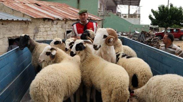 Koyun hırsızları ayak izlerinden yakalandı