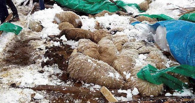Ahır çöktü, 110 koyun telef oldu