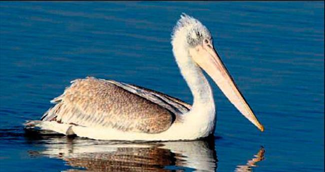 Tepeli pelikanı vurana büyük ceza
