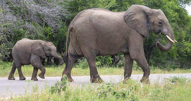 Doğu Afrika'da fil nüfusu yok oluyor