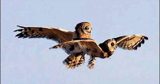 Baykuşlar havada Titanik pozu verdi