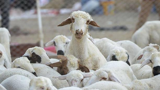 Küçükbaş hayvancılık sektörü büyüyor