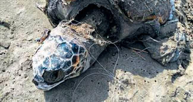 Pamucak sahilinde ölü Caretta Caretta
