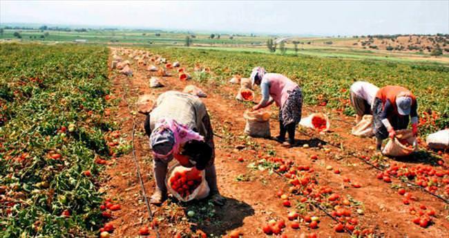 Salçalık domates fiyatına üretici tepkisi