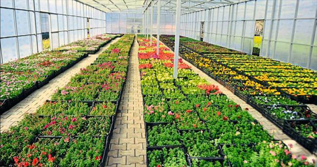 Milyonlarca çiçek toprakla buluşuyor