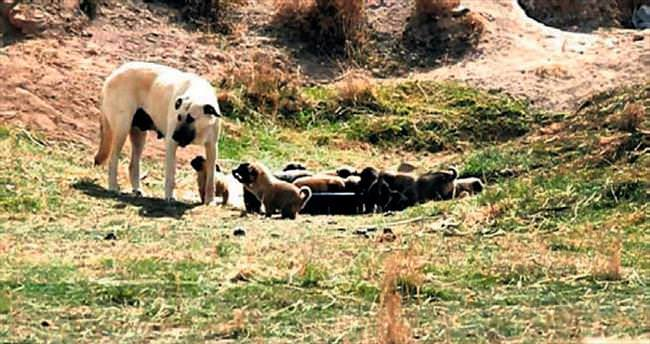 Zeyna bir batında 16 yavru doğurdu
