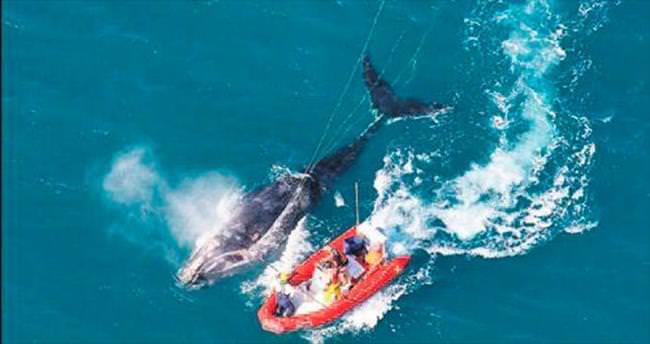 Japonlar bu yıl 333 balinayı katletti
