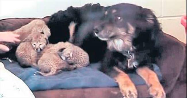 Yavru çitalara köpek sahip çıktı