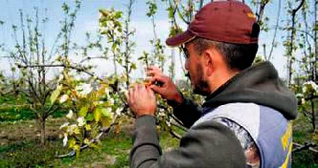 Kırağı meyveye yüzde 35 zarar verdi