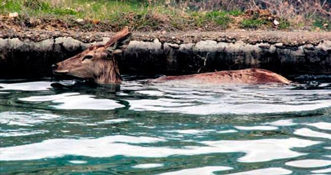 Havuza düşen gebe geyik kurtarıldı