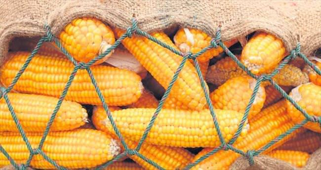 'Türk mısırında GDO yok'