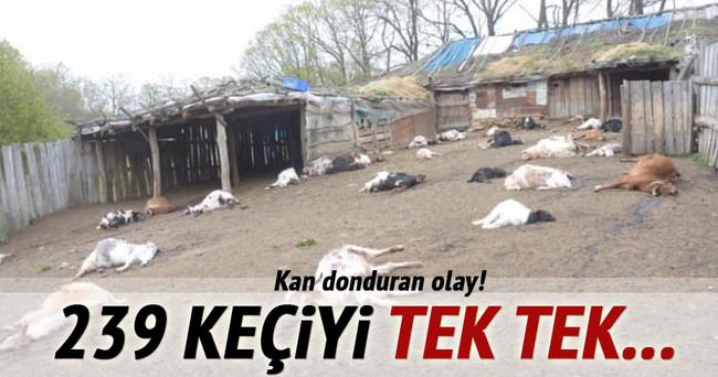 Babası ile tartıştı 239 keçiyiyi telef etti